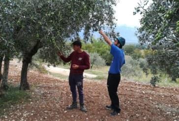 Raccolta e trasformazione delle olive ottobre 2018