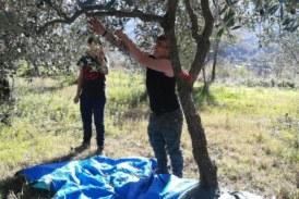 Raccolta olive presso l'oliveto dell'Istituto e trasformazione – Balsorano novembre 2018